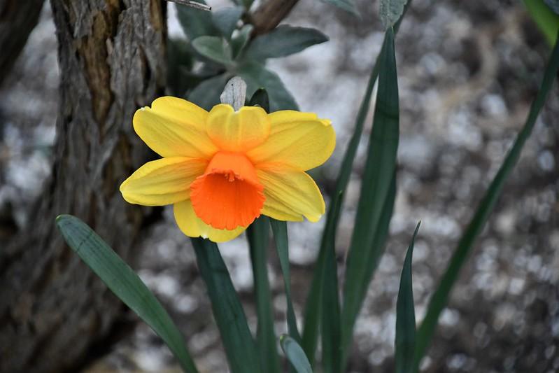 Daffodil 01.04 (3)