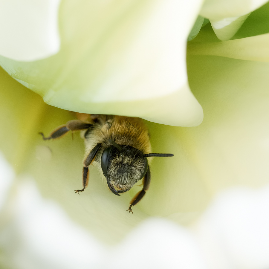 Sieste dans la tulipe 33646839018_f365957595_o