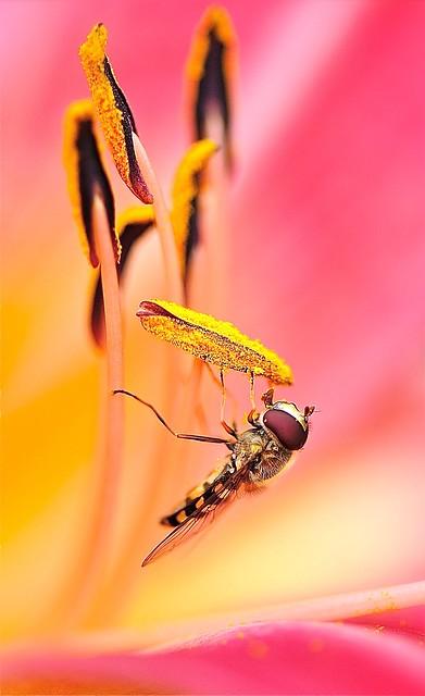 Le regard d'un syrphe dans une fleur de lys rose