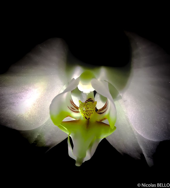 Orchidee by night