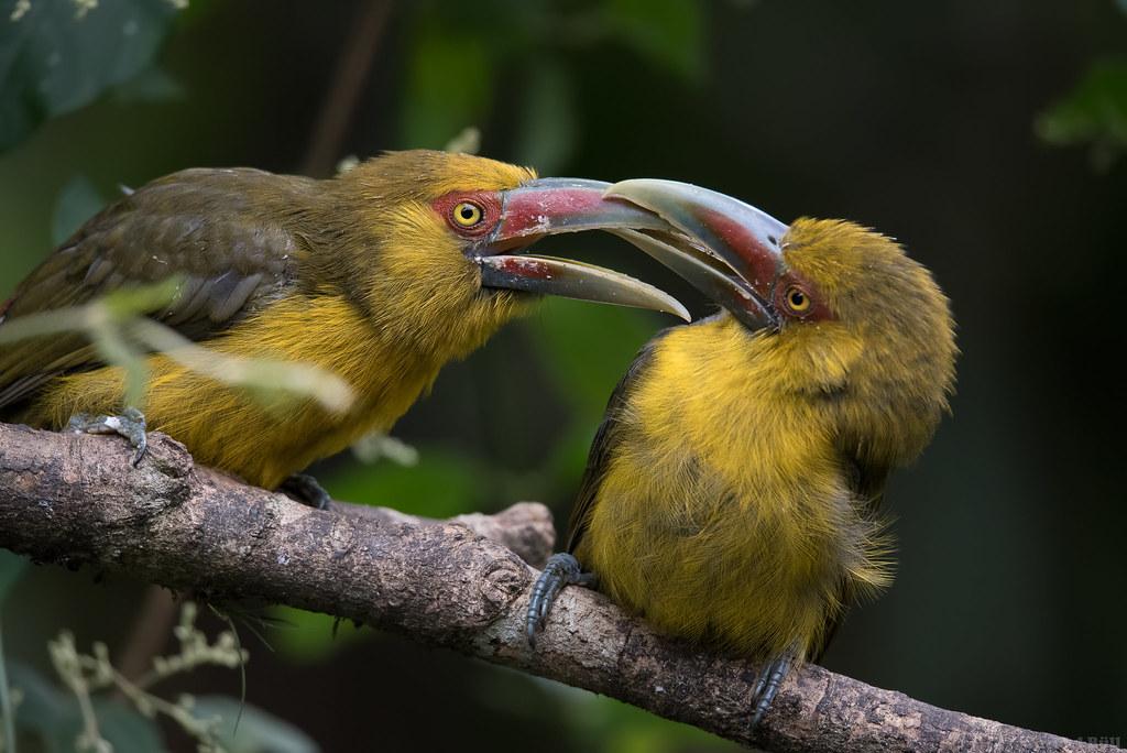 Saffron Toucanet - araçari-banana (Pteroglossus bailloni)
