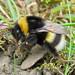 Bombus cryptarum (Cryptic Bumblebee)