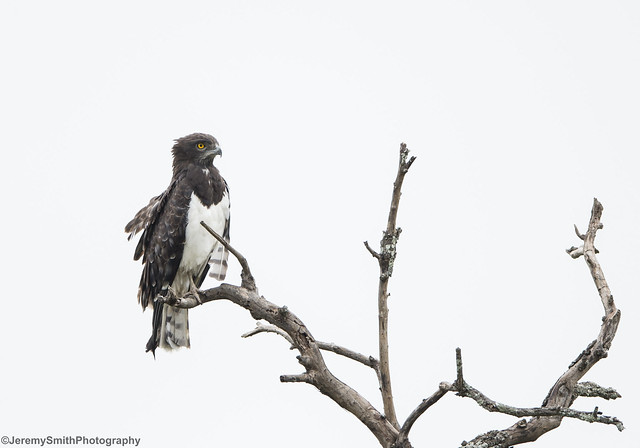 Black-chested Snake Eagle, Circartus pectoralis, Kyle Game Park, Masvingo, Zimbabwe