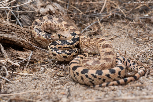 Great Basin Gopher Snake (Pituophis catenifer deserticola) | by Chad M. Lane