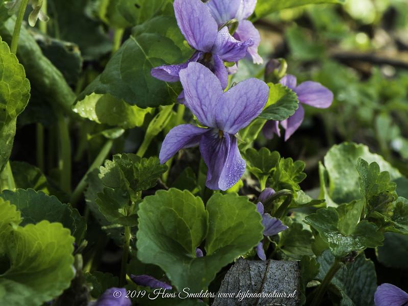 Maarts viooltje (Viola odorata)-819_0597