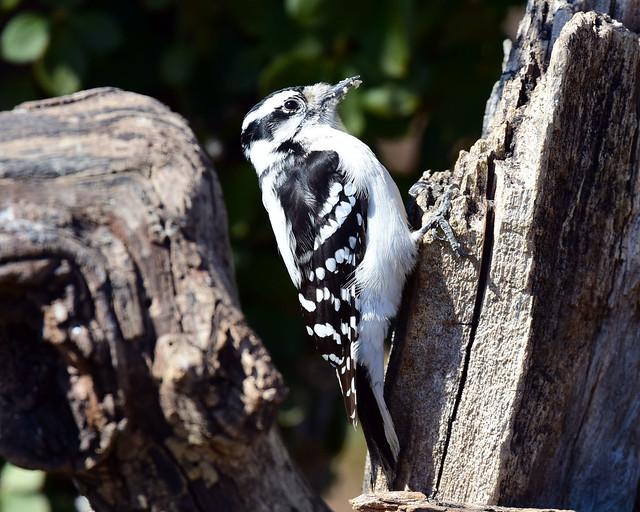 DSC_0490.Downy Woodpecker