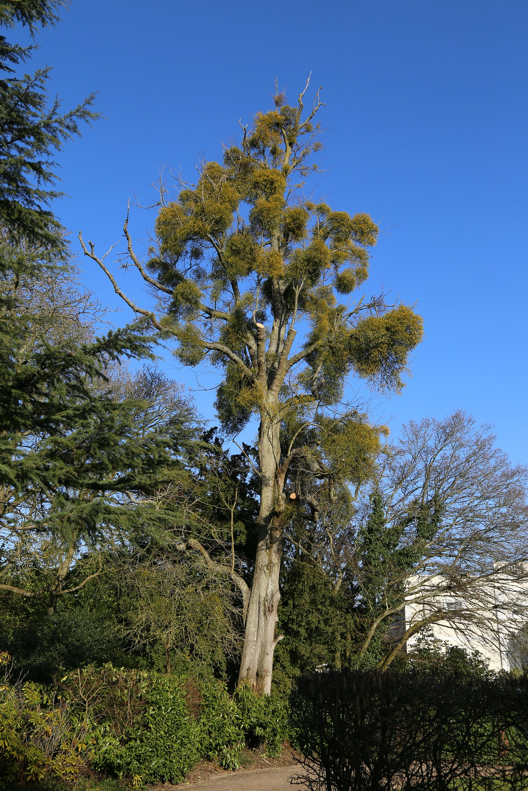 Mistletoe Tree - North of Henley Viscum album