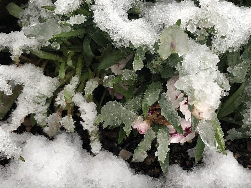 Dianthus in snow