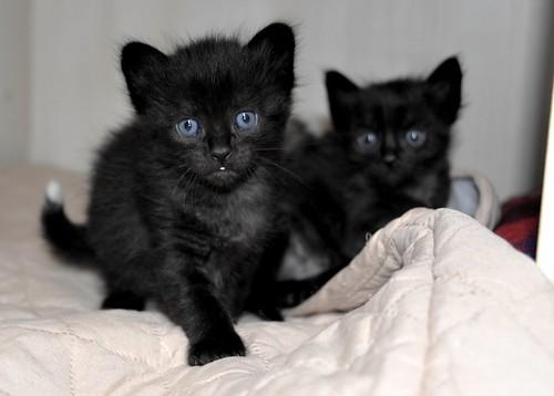 Yoel, gatito monisimo pelo semilargo negro esterilizado, nacido en Febrero´19, en adopción. Valencia. 46736835664_b01a44b9e8