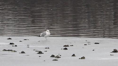 rarebird bird buchananlake yakimacounty yakima washingtonstate gull mewgull ebird yakimagreenway sarghubbardpark walk