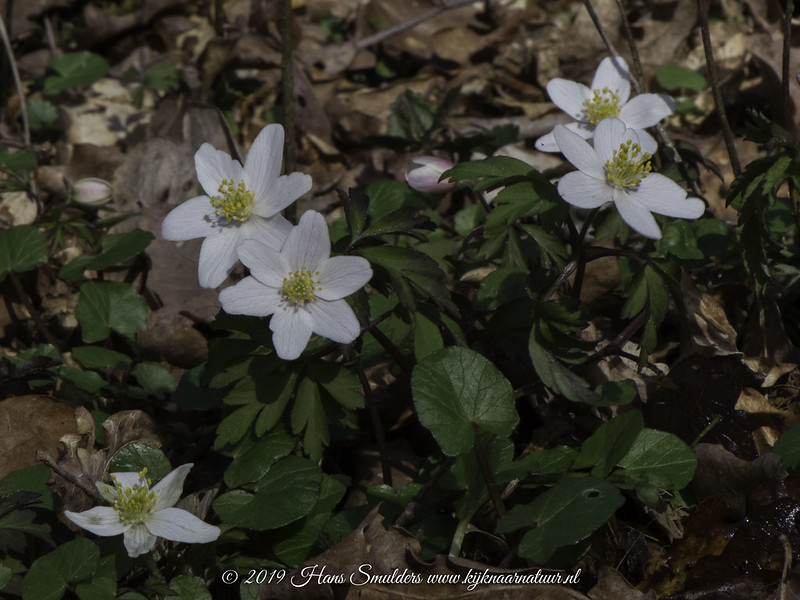 Bosanemoon (Anemone nemorosa)-618_1011