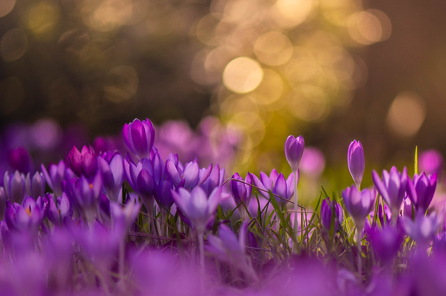 Crocus, early Morning