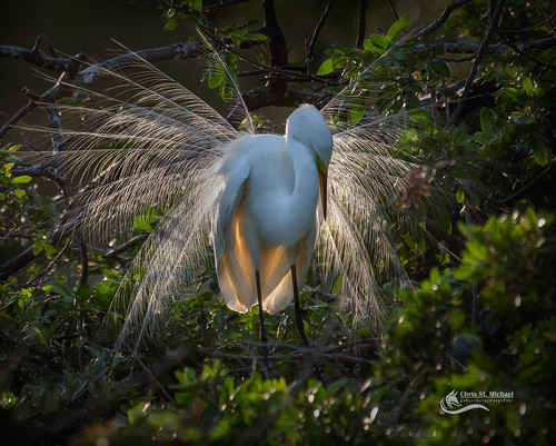 Great White Egret display | by Chris St. Michael