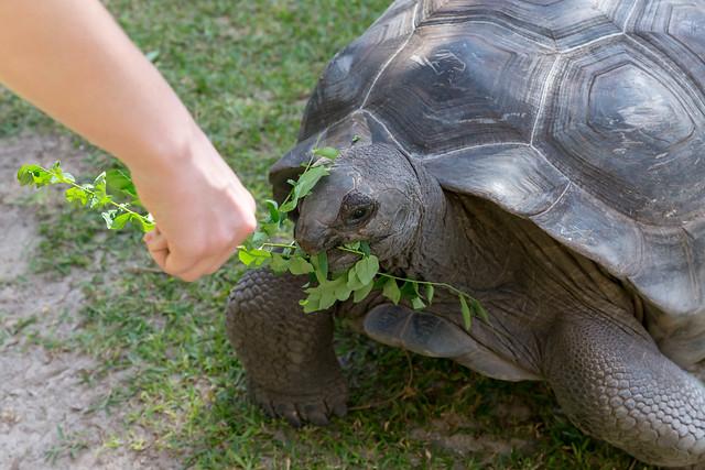 Aldabra-Riesenschildkröte isst Blätter bei Fütterung auf den Seychellen