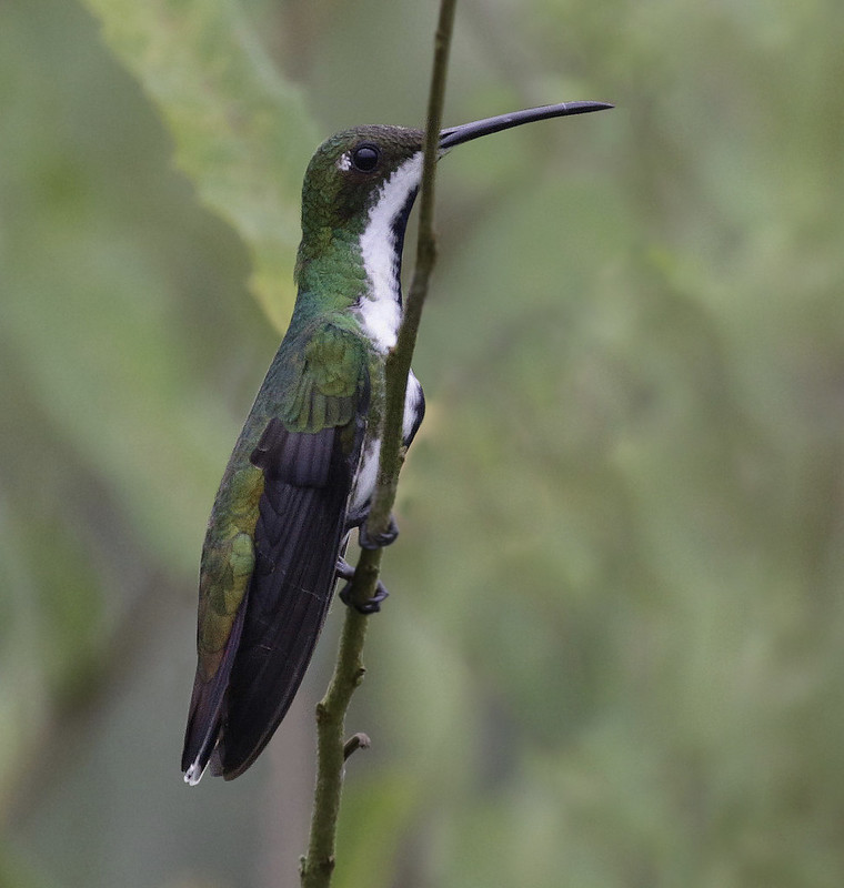 Black-throated Mango, Anthracothorax nigricollis Ascanio_Amazon Cruise 199A0349