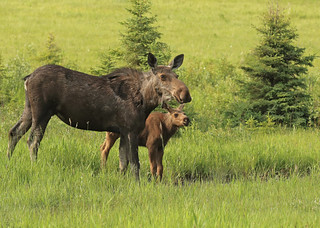 Momma moose and kid...#19