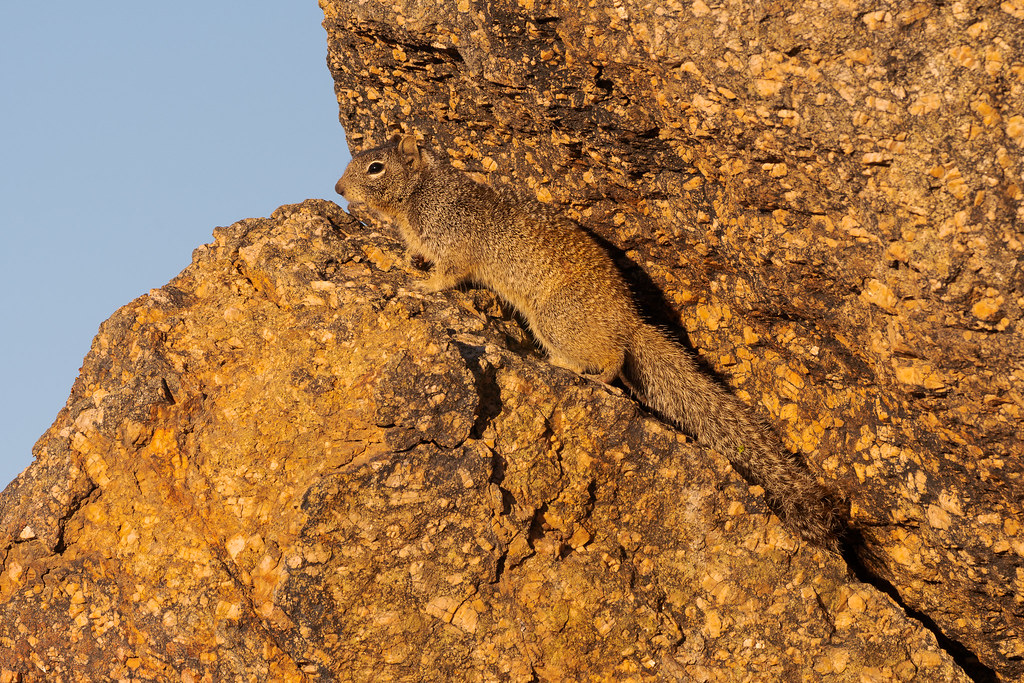 A close-up view of a rock squirrel perching in the rocks early one morning along the Latigo Trail in McDowell Sonoran Preserve in Scottsdale, Arizona