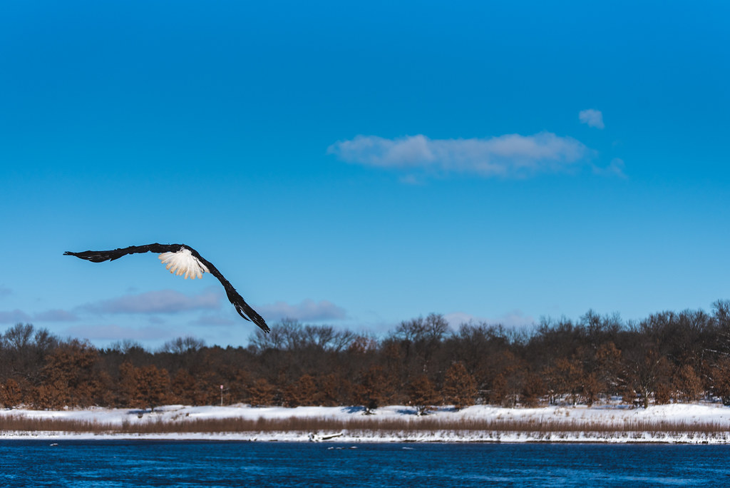 A bald eagle gaining altitude over a river