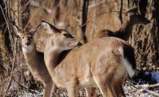 White-tailed Deer_7623