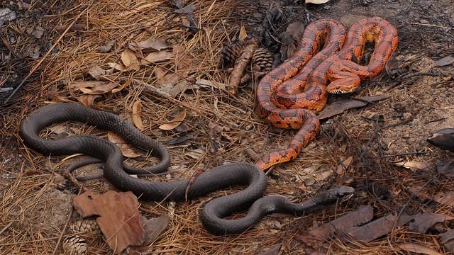 Corn Snake & Black Racer (Pantherophis guttatus)(Coluber constrictor)