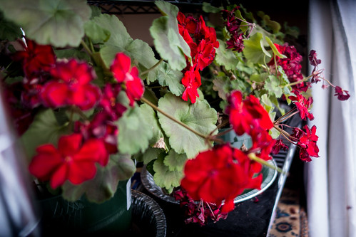 Geraniums in the Window | by Stephen Downes