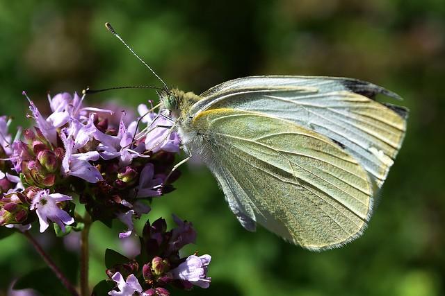 Butterfly on oregano, In the garden 7/6/18