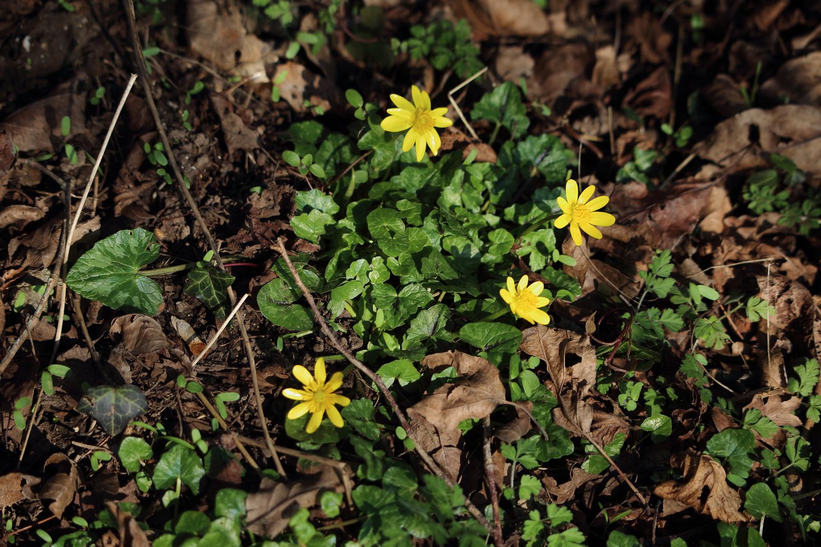 Lesser Celandines - Hambleden Ficaria verna