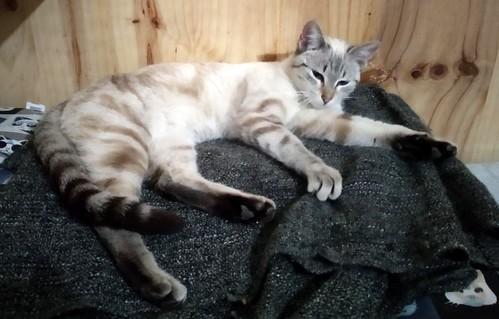 Teryl, preciosa gata siamesa tabby esterilizada nacida en Septiembre´18, en adopción. Valencia. ADOPTADA. 46503504784_09c69707ca