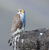 Prairie Falcon by Ceredig Roberts