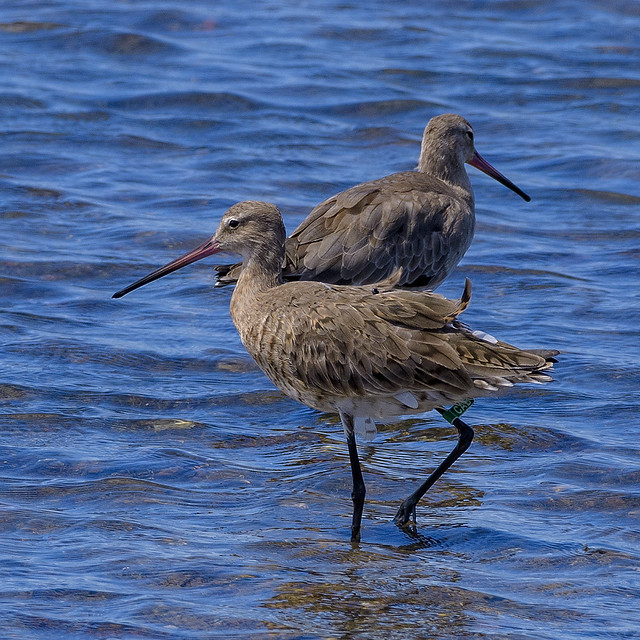 south from siberia - black-tailed godwits