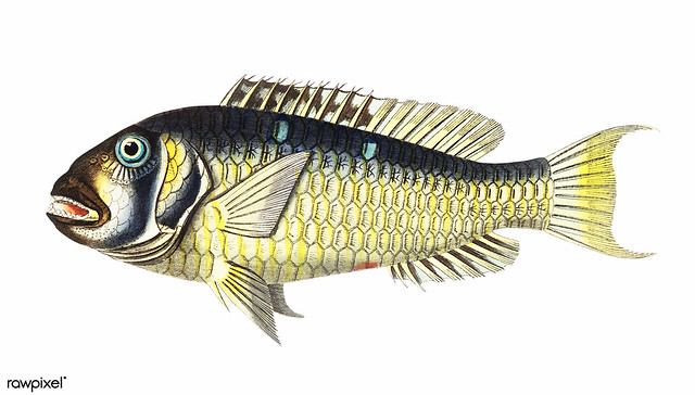 Gilt-head bream (Abilgardian Sparus) illustration from The Naturalist's Miscellany (1789-1813) by George Shaw (1751-1813)
