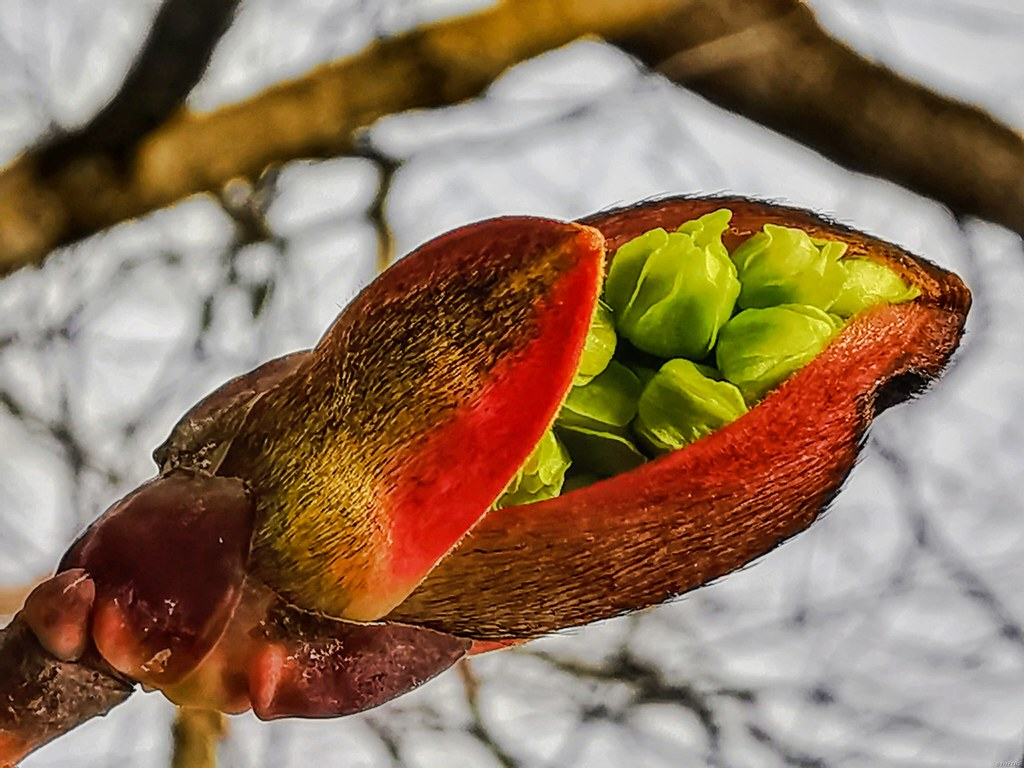 The bud opens