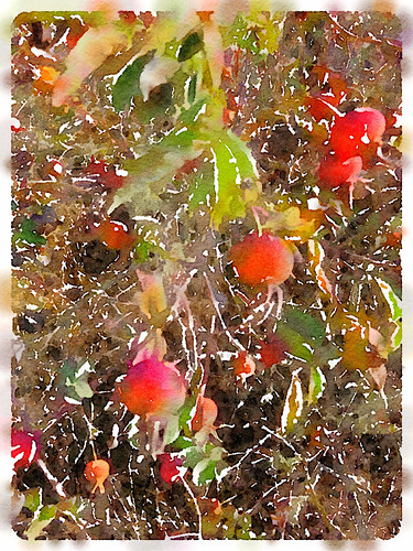 Rose hips at Whiffen Spit run through the photo app Waterlogue