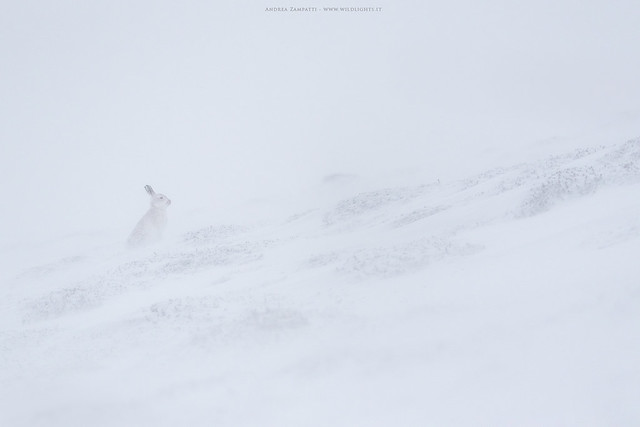 Mountain hare in the blizzard