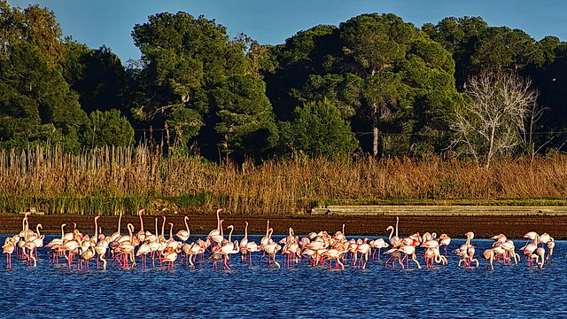 Migrating flamingos stop over