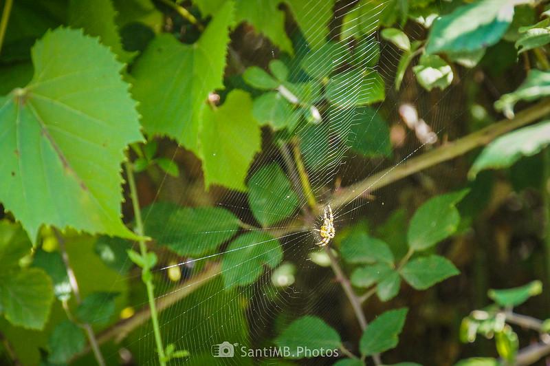 Araña en viña silvestre en Olivella