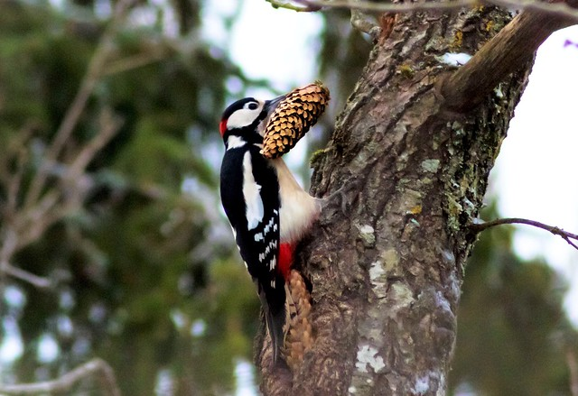 pico picapinos / great spooted woodpecker