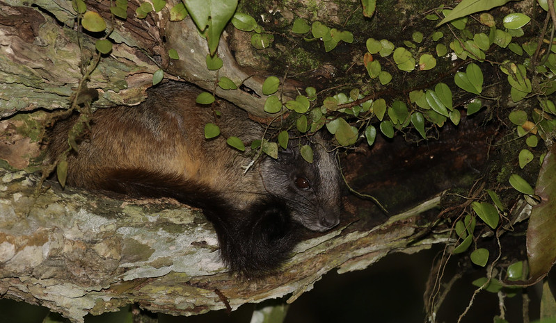 Yellow-crowned Brush-tailed Tree Rat, Isothrix bistriata 199A8797