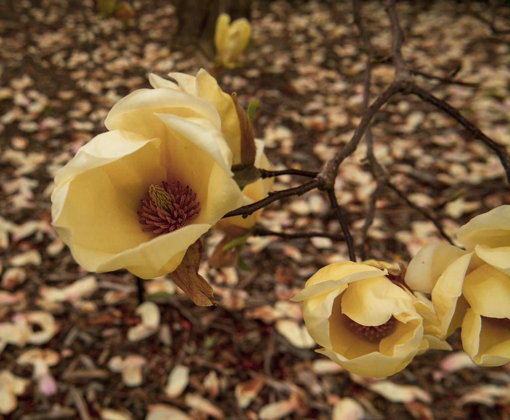 Magnolia Hybrid Hot Flash 2 NBG | Puddin Tain | Flickr
