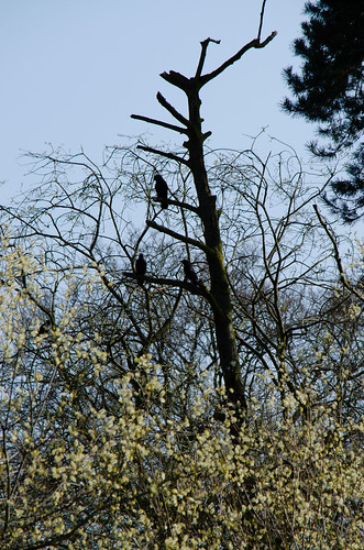 Carrion crows, Pendeford Mill LNR