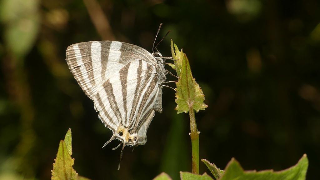 Laothus phydela - 1 - BR - Sao Paulo - Pico do Imbiri - 1800 - 20190122 - U - V1