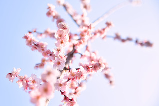 Plum blossoms | by 雷太