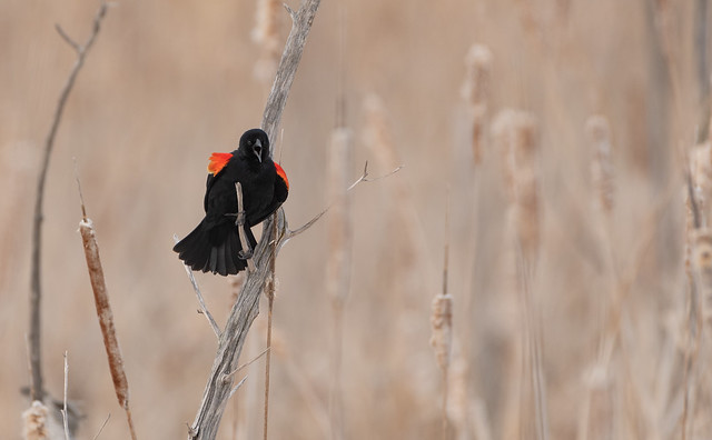 Carouge à épaulettes // Red-winged Blackbird