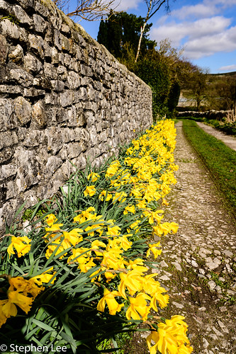 Daffodil Lane | by StephenL in Settle