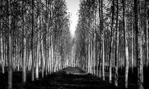 Poplars - A Study   by alecompa