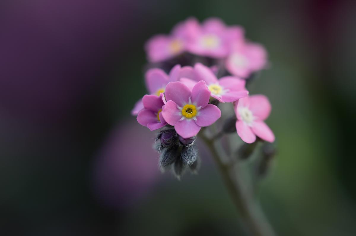 Les belles petites roses 33646838658_a21f95bc7e_o