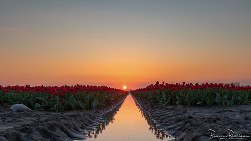 Sunset Reflections and Tulips