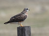 Swainson's Hawk by Ceredig Roberts