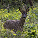 Western Roe Deer - Photo (c) Ouwesok, some rights reserved (CC BY-NC)