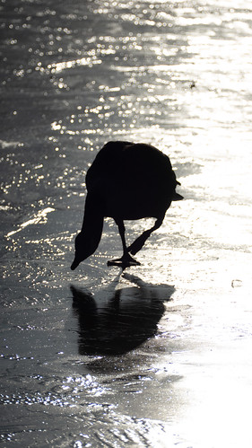 Canada goose inspecting the ice